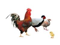 Aves granja