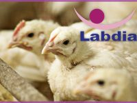 Pollos de 4 semanas congelados